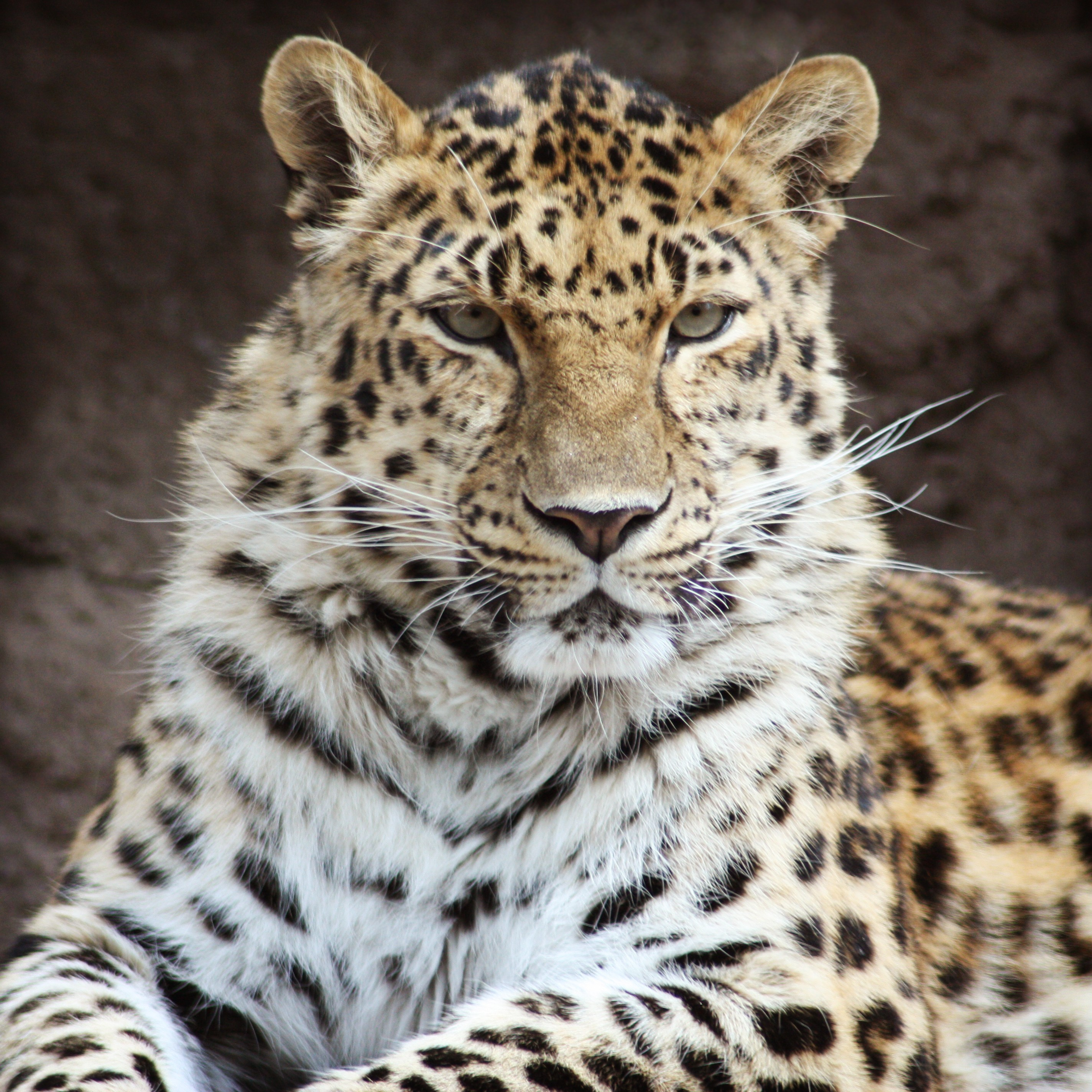 Exotic Leopard Screensavers Download